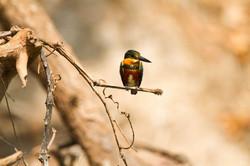 bird-green-and-rufous-kingfisher-01-wild