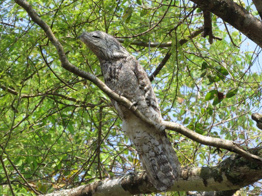 bird-great-potoo-01-wildlife-pantanal-tours