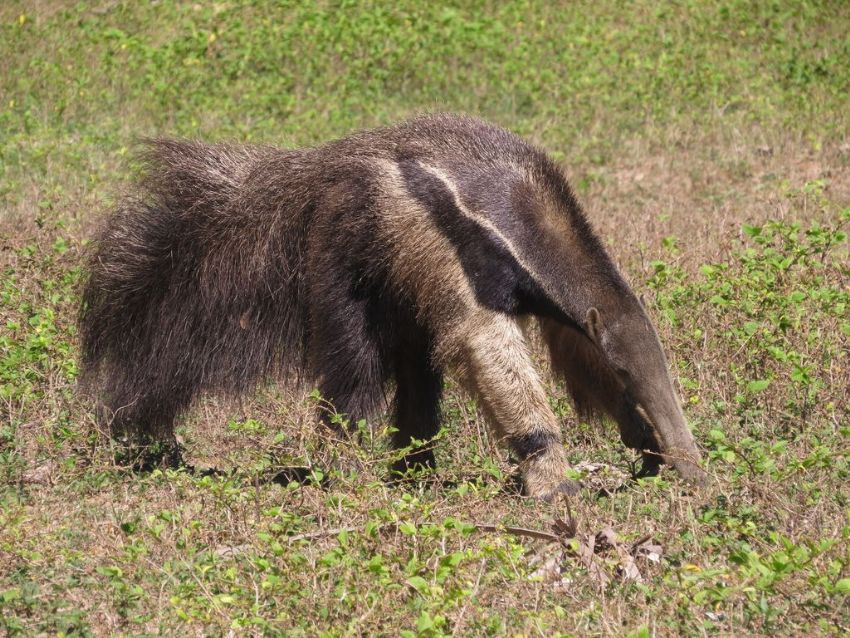 giant-anteater-03-wildlife-pantanal-tours