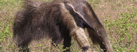 Giant Anteater - Myrmecophaga tetradactyla  - Wildlife Pantanal Tours