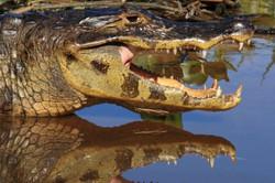 caiman-02-wildlife-pantanal-tours_edited
