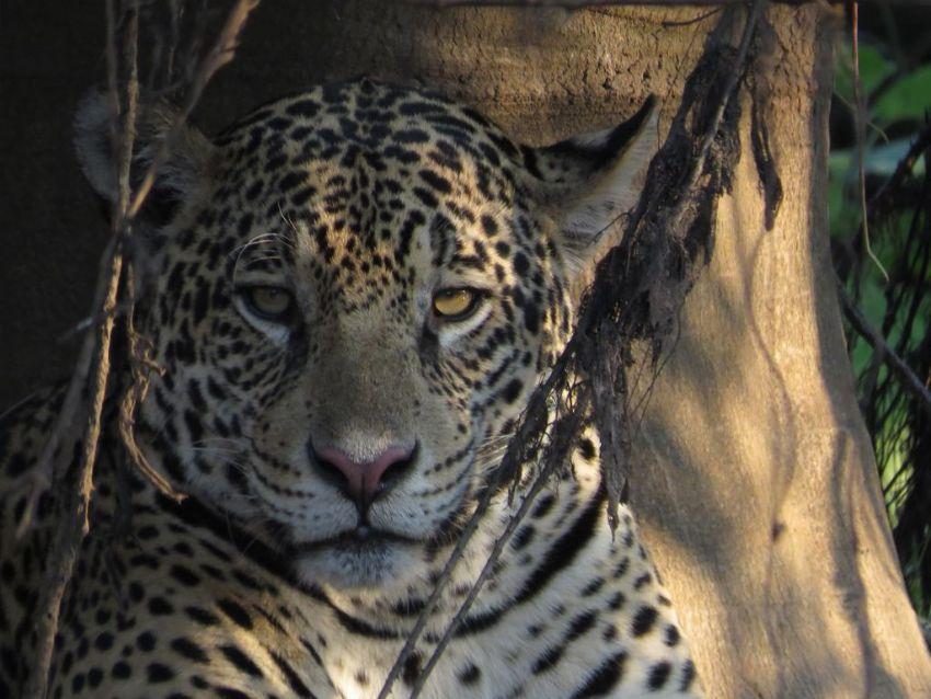 jaguar-25-wildlife-pantanal-tours