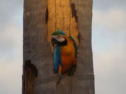 bird-blue-and-yellow-macaw-01-wildlife-pantanal-tours