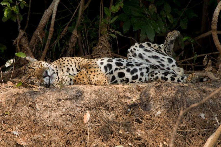 jaguar-14-wildlife-pantanal-tours