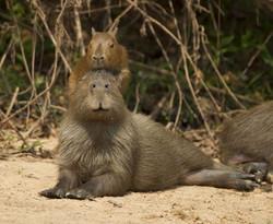 capibara-04-wildlife-pantanal-tours