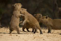 capibara-03-wildlife-pantanal-tours
