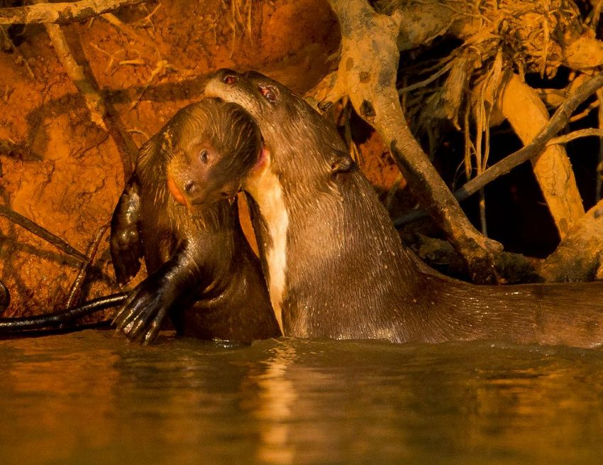 giant-otter-04-wildlife-pantanal-tours