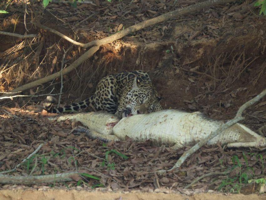 jaguar-32-wildlife-pantanal-tours