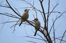 bird-white-eared-puffbird-01-wildlife-pantanal-tours