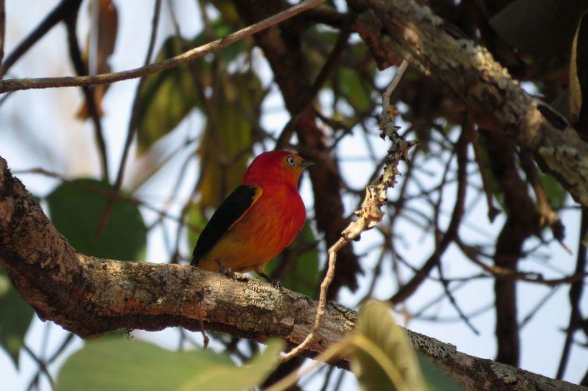 bird-band-tailed-manakin-01-wildlife-pantanal-tours
