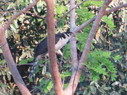 bird-collared-forest-falcon-01-wildlife-pantanal-tours