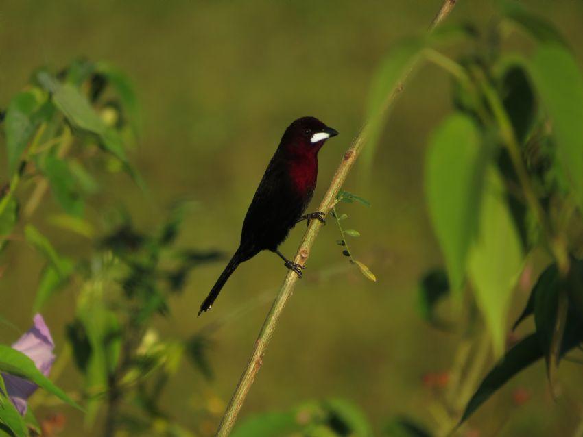 bird-silver-beaked-tanager-01-wildlife-pantanal-tours