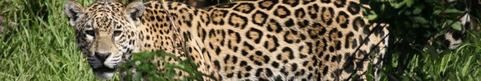 Jaguar - Wildlife Pantanal Tours