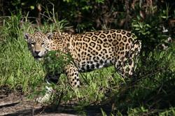 jaguar-28-wildlife-pantanal-tours
