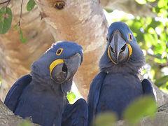 Hyacinth Macaws - Wildlife Pantanal Tours