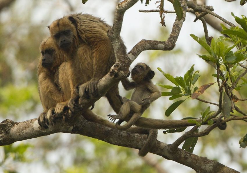 howler-monkey-01-wildlife-pantanal-tours
