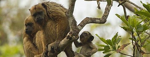 Howler Monkey - Alouatta Caraya - Wildlife Pantanal Tours