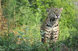 jaguar-17-wildlife-pantanal-tours