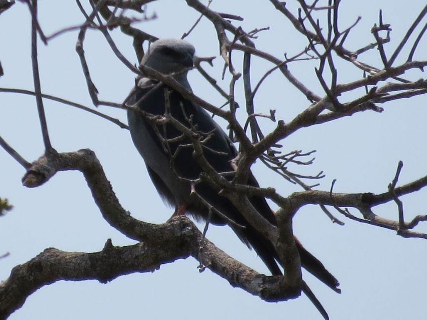 bird-plumbeous-kite-01-wildlife-pantanal-tours