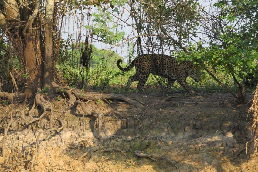 jaguar-07-wildlife-pantanal-tours