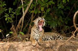 jaguar-15-wildlife-pantanal-tours