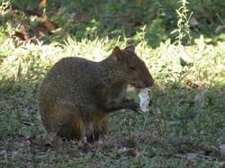 agouti-01-wildlife-pantanal-tours