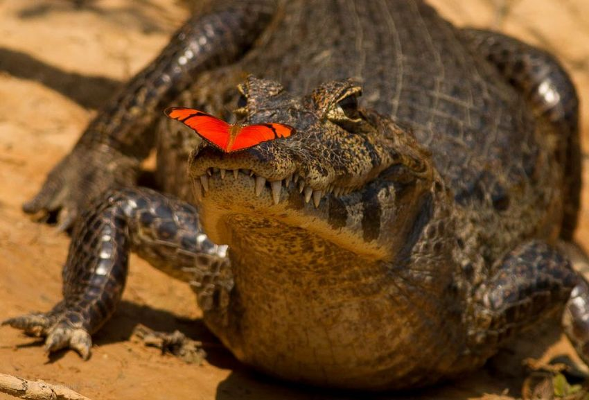 caiman-01-wildlife-pantanal-tours