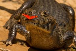 caiman-01-wildlife-pantanal-tours
