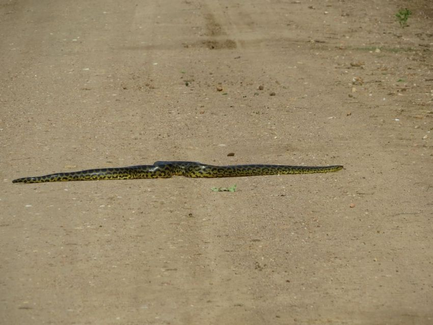 anaconda-02-wildlife-pantanal-tours