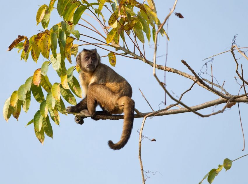 capuchin-monkey-01-wildlife-pantanal-tours