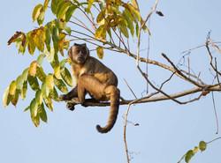 capuchin-monkey-01-wildlife-pantanal-tours