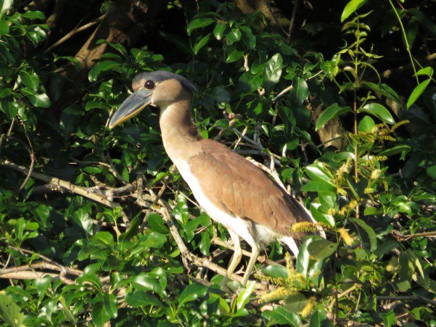 bird-boat-billed-heron-01-wildlife-pantanal-tours