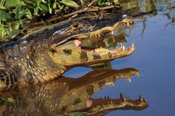 caiman-02-wildlife-pantanal-tours