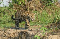jaguar-05-wildlife-pantanal-tours