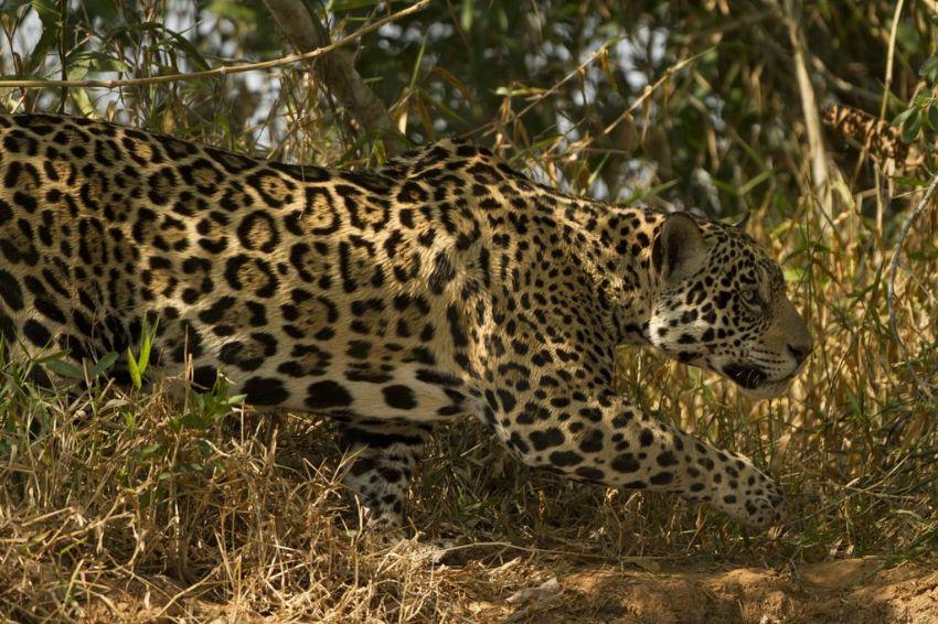 jaguar-10-wildlife-pantanal-tours