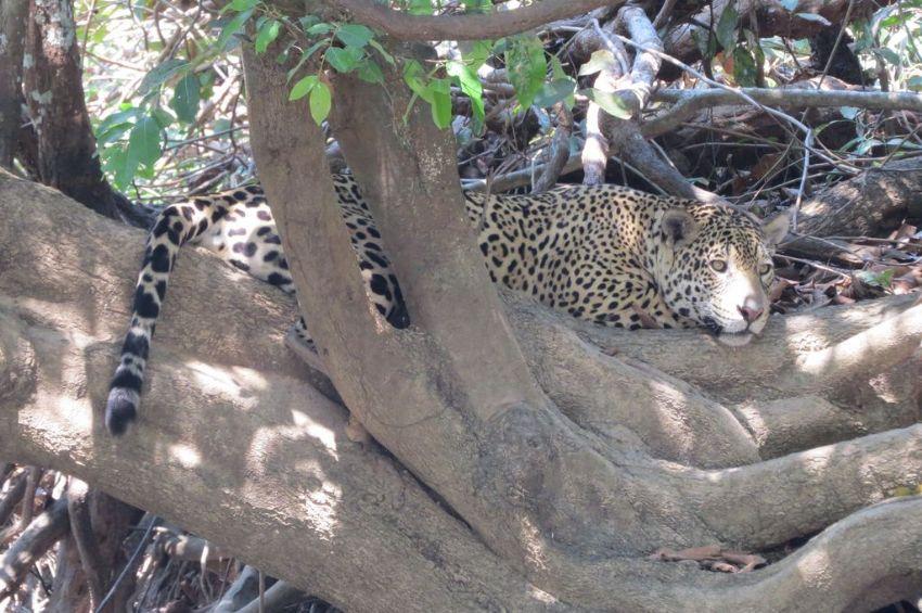 jaguar-16-wildlife-pantanal-tours