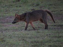 crab-eating-fox-02-wildlife-pantanal-tours