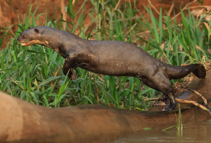 giant-otter-02-wildlife-pantanal-tours