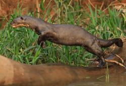 giant-otter-02-wildlife-pantanal-tours