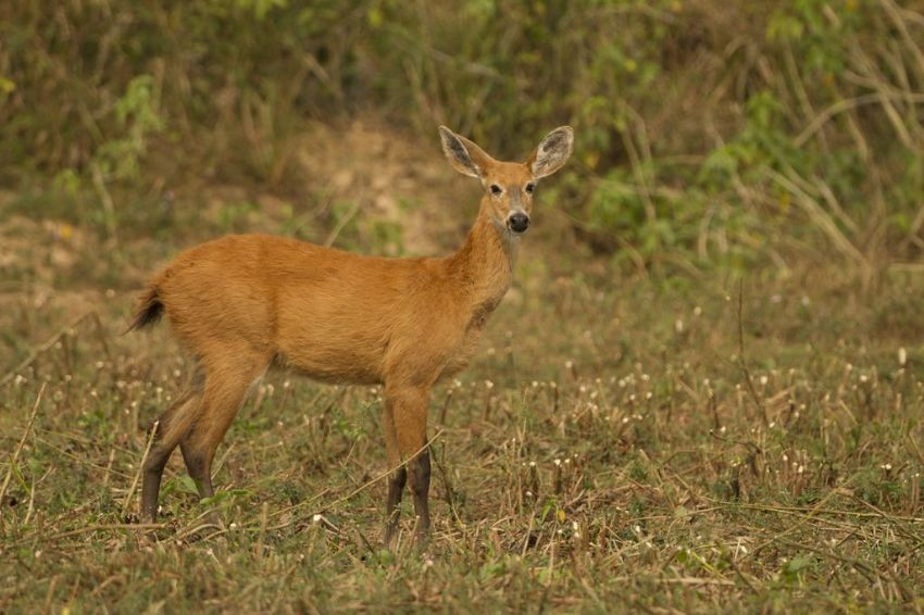 red-brocket-deer-01-wildlife-pantanal-tours