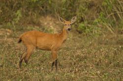 red-brocket-deer-01-wildlife-pantanal-tours