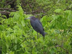 bird-little-blue-heron-01-wildlife-pantanal-tours