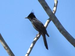 bird-crested-black-tyrant-01-wildlife-pantanal-tours