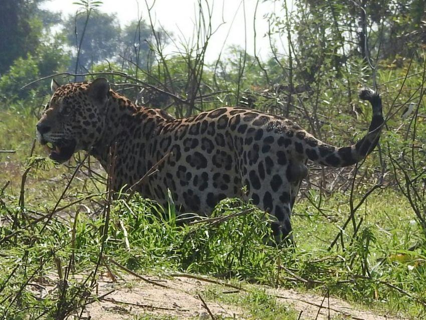 jaguar-02-wildlife-pantanal-tours