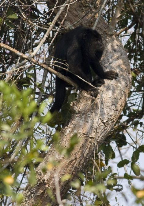 howler-monkey-03-wildlife-pantanal-tours