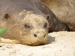 giant-otter-01-wildlife-pantanal-tours
