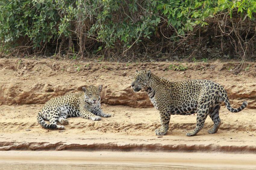 jaguar-08-wildlife-pantanal-tours