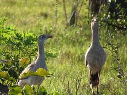 bird-red-leggd-seriema-01-wildlife-pantanal-tours