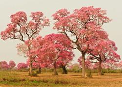 landscape-tabebuia-trees-01-wildlife-pan