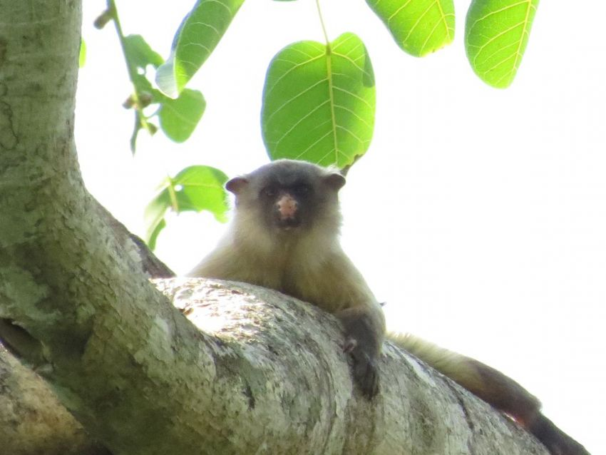 marmoset-01-wildlife-pantanal-tours